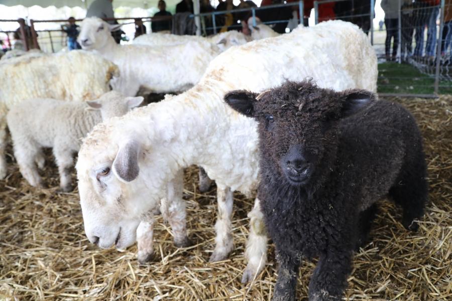 2021 Waltham Sheepshearing Festival